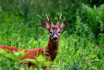 Roe Deer by Baz Hilder