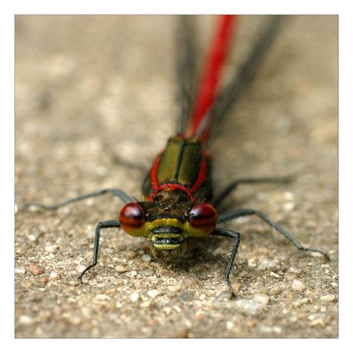 Damsel Fly by smarjoram
