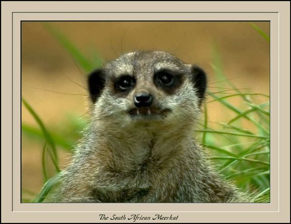 The South African Meerkat by Jimbob