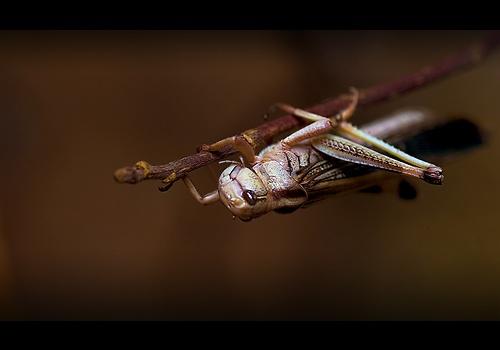 Desert Locust by solkku