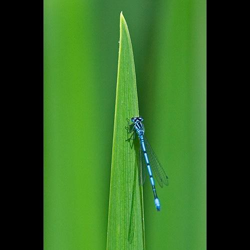 Common Blue Damselfly by philwig