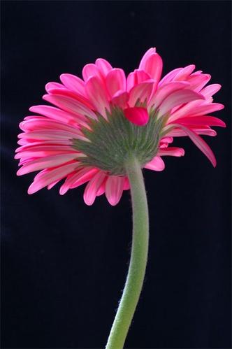 Pink gerbera by AnneMB
