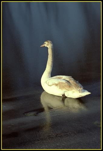 Snowy Swan by RSaraiva