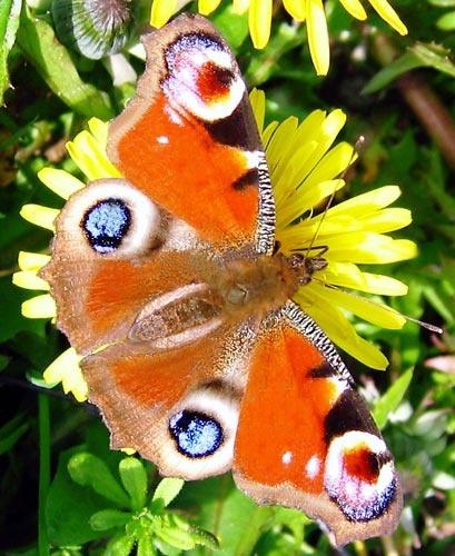 Elderly butterfly by RipleyExile