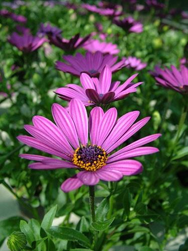 lilac daisy by haana
