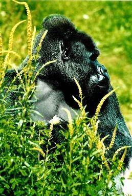 Lowland Gorilla Portrait by Baz Hilder