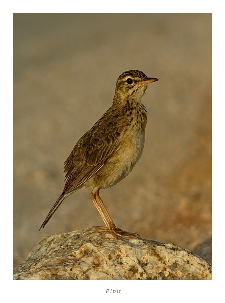 Pipit by suleesia
