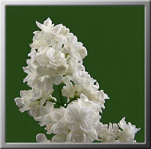 Lilac by obz_uk