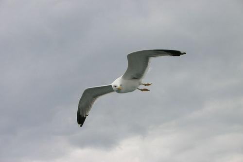 Gull by Hexadecimal