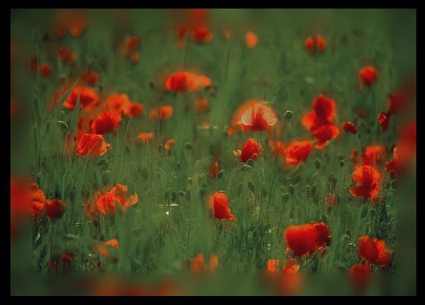 wild poppy by scottingham