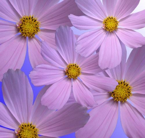 Flower montage by heromole