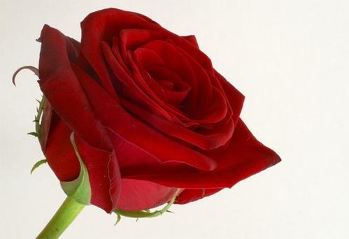 Red rose by AnneMB