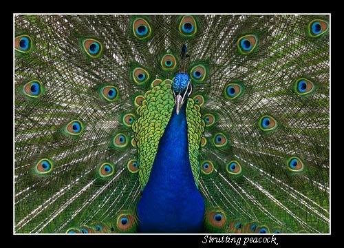StruttingPeacock by ziggy