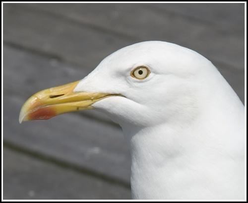 gull close up by john ballance