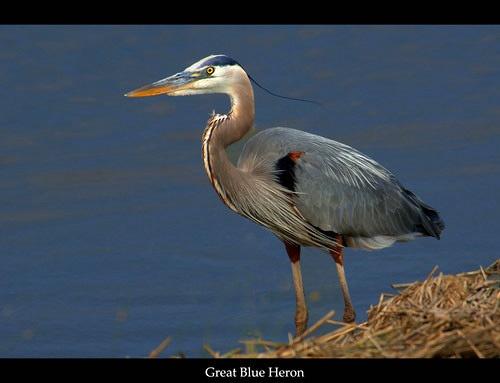 Great Blue Heron by glazzaro