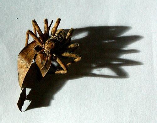 Spider by adamm