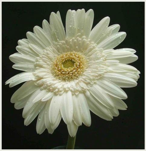 White Gerbra by claudette