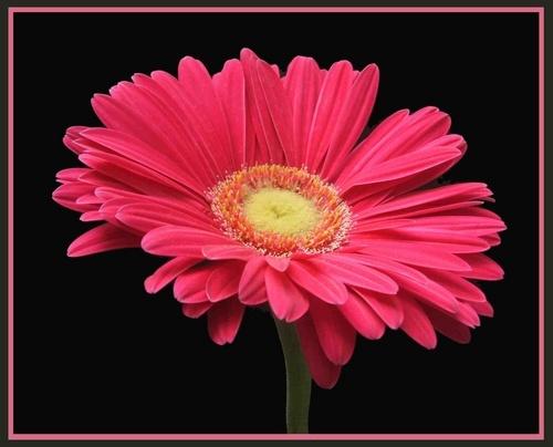 Pink Gerbra by claudette