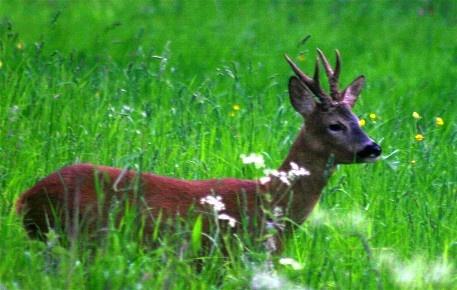 Roe Deer2 by Baz Hilder