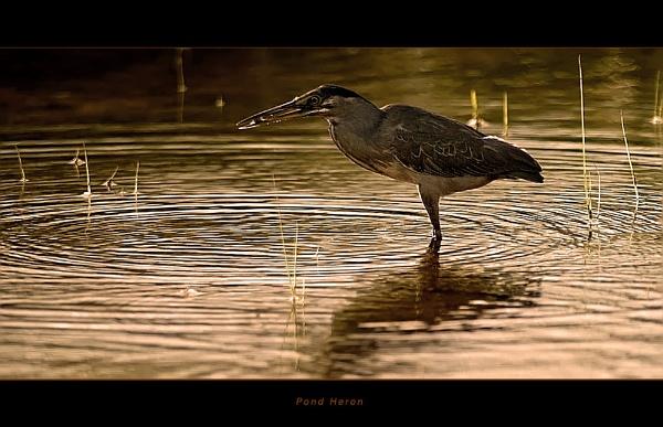 Pond Heron by suleesia