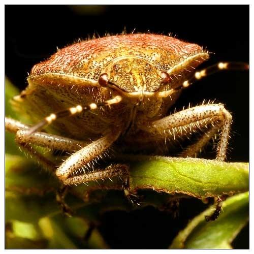 Shield Bug by smarjoram