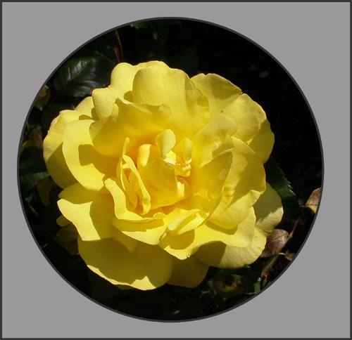 Yellow Rose by NorahF