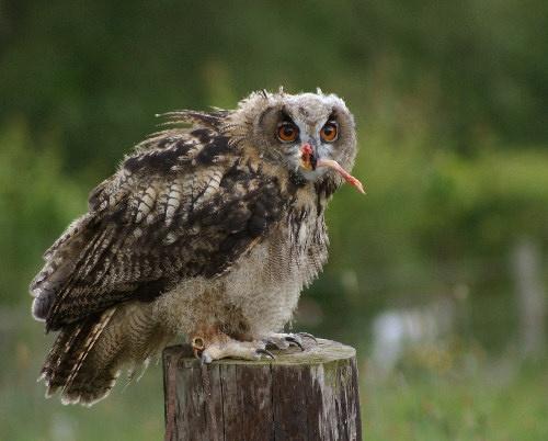 Baby Owl by karenpics