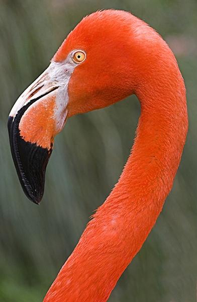 Flamingo by kidda
