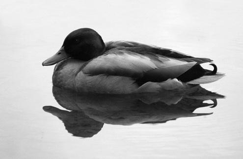 Quack b&w by Marlin_owner