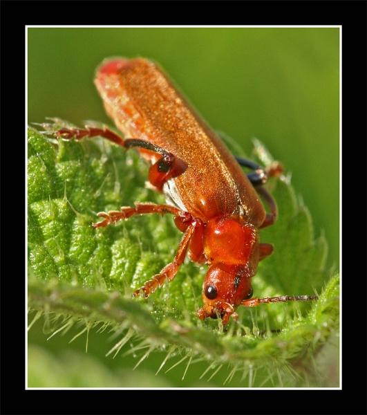 Cardinal Beetle by MartinjD