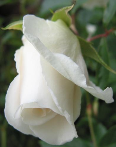 White Rose by heromole