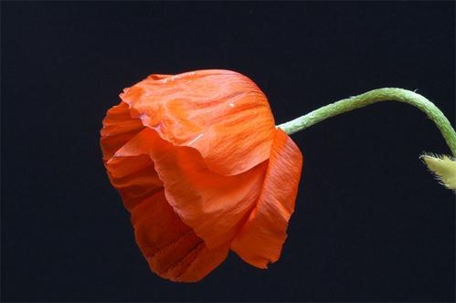 Poppy by AnneMB