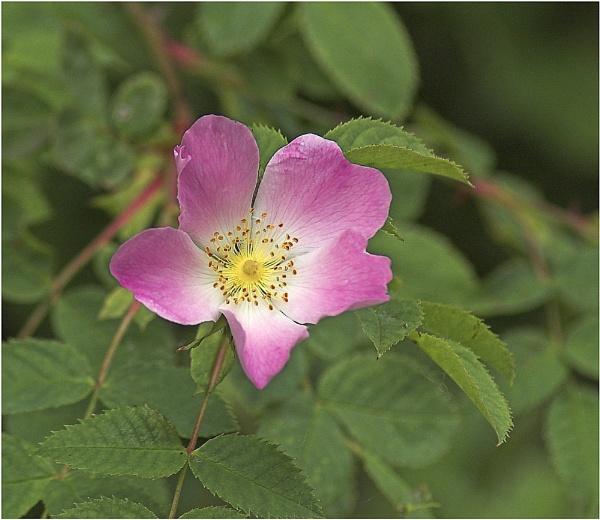 Wild Rose by OLDNIK