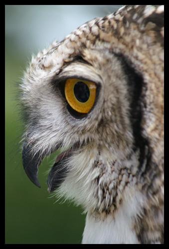Owl by RSaraiva