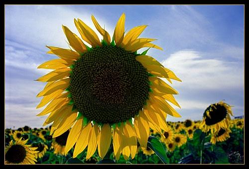 Yellow Sun by RSaraiva
