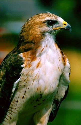 Bird of prey by icphoto