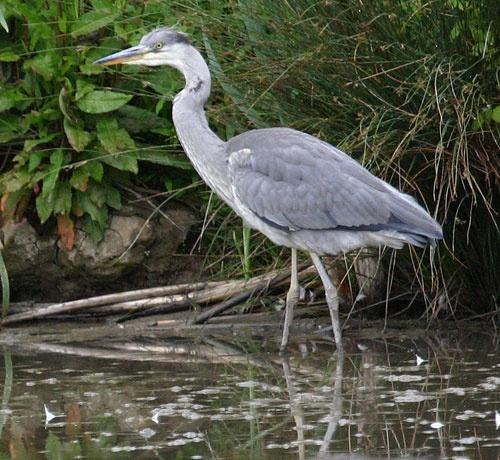 gray heron by rf