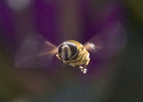 Another Hoverfly by danpen