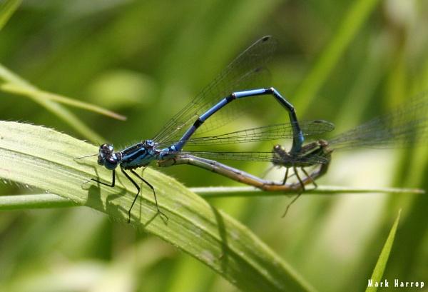 Dragonfly\'s by markharrop