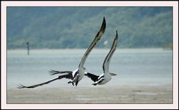 Last Pelican