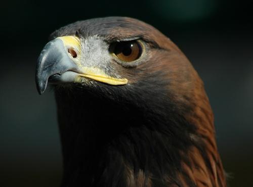Golden Eagle II by ajm
