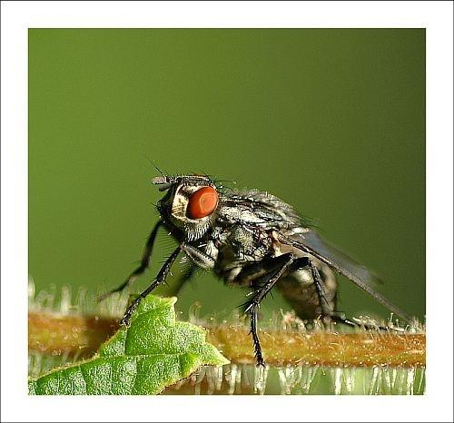 Ugly fly by gapet
