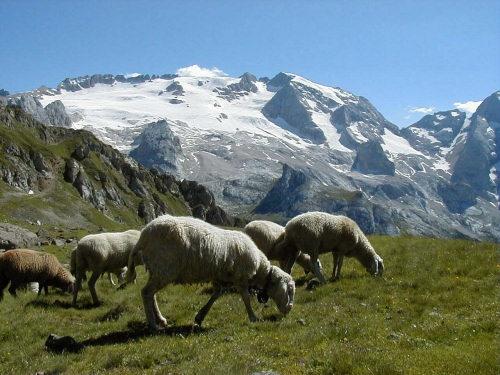 Marmolada sheeps by claudio the bassist