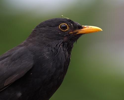 blackbird by grom