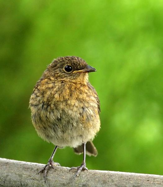 Baby Robin by John_Wannop