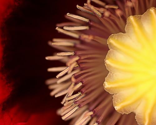 Poppy by AngelaD