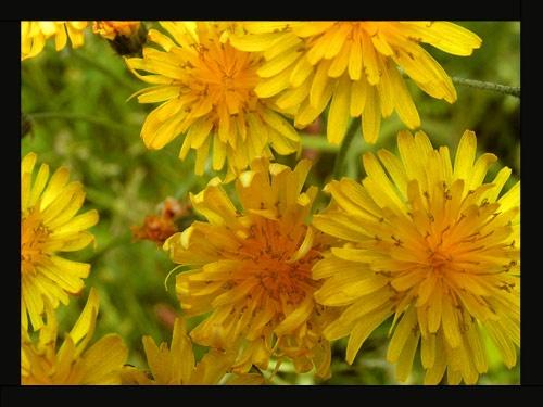 Dandelions by MoWiz