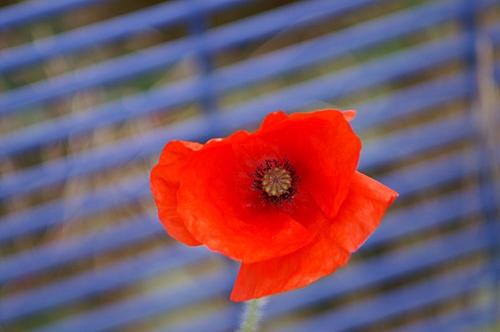 Poppy by RSaraiva