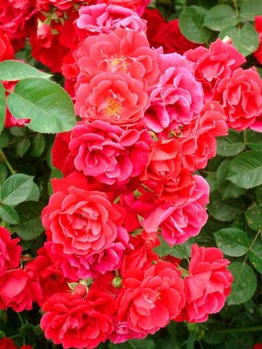 Junkyard Rose by G3