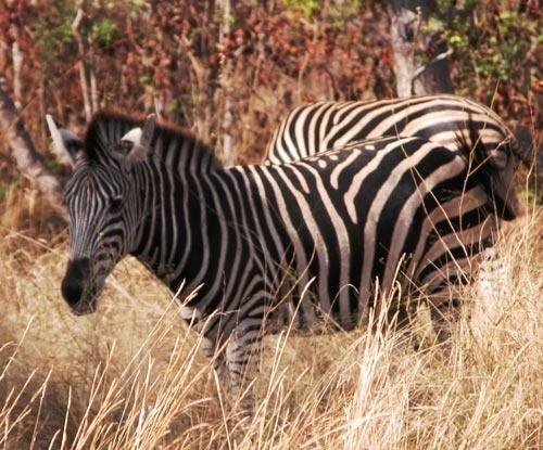 Zebra by keppy